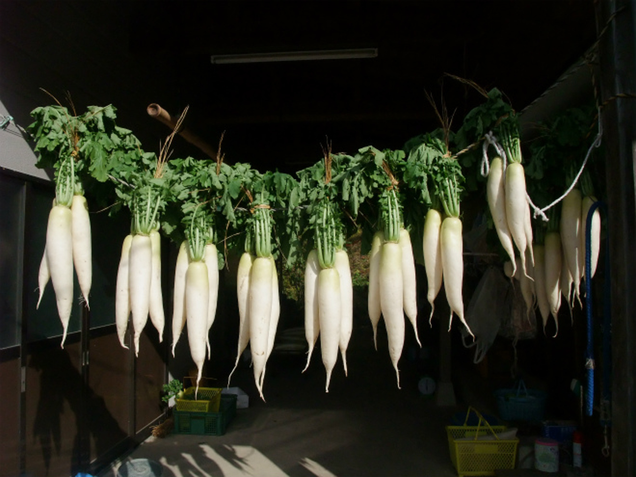 Radishes hung to dry in the sun in Yonekawa , Tome, Japan